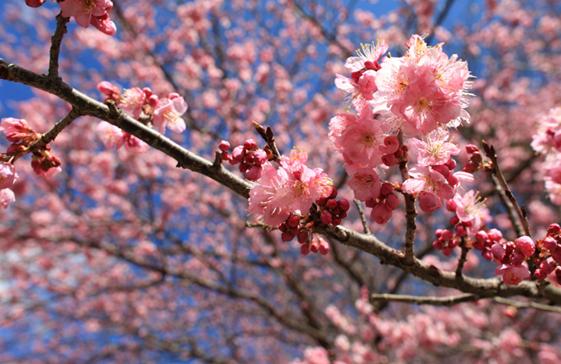 賞櫻花包車之旅、賞櫻包車旅遊景點推薦